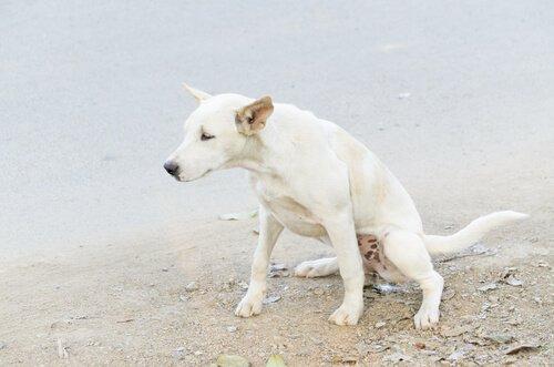 incontinência urinária em cães: como agir