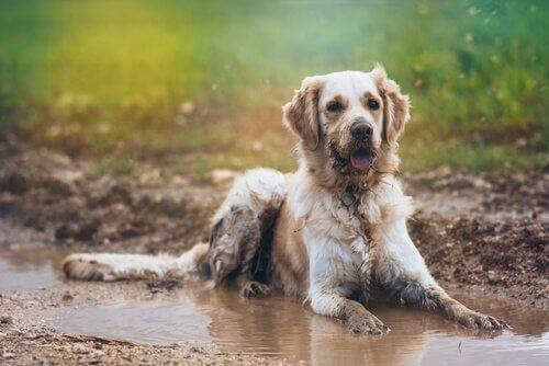 Como evitar o cheiro de cachorro molhado?