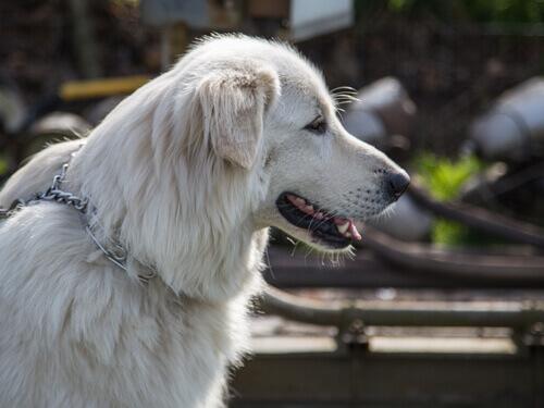 cão montanha dos pirineus