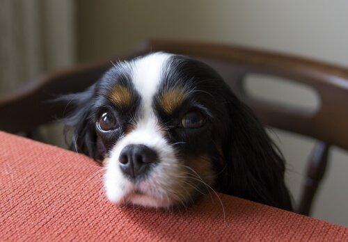Cachorro com olhar pidão