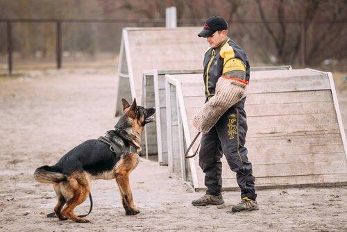 cão policial sendo treinado
