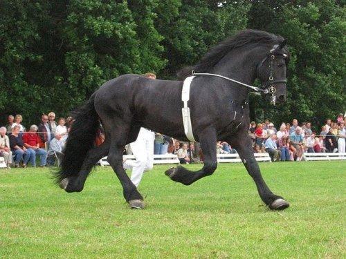 Cavalo frísio