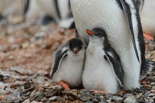 Você gostaria de apadrinhar um pinguim?