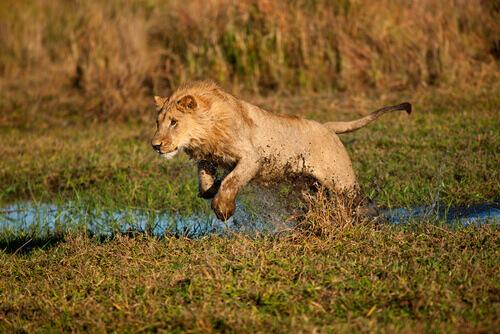 Como as leoas caçam?