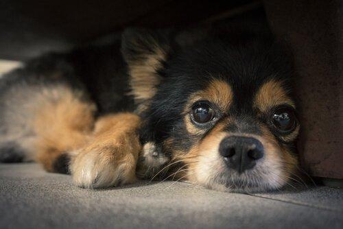 Para que servem os bigodes dos cães?