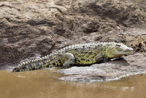 crocodilo no seu habitat