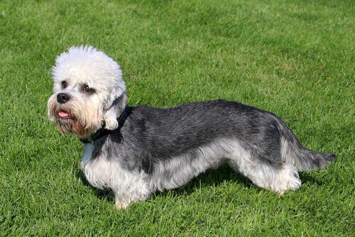 Dandie Dinmont Terrier, um cão leal e valente