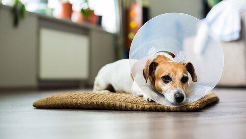 Como desinfetar as feridas do seu cão em casa