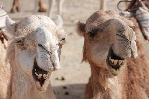 Diferenças entre camelos e dromedários