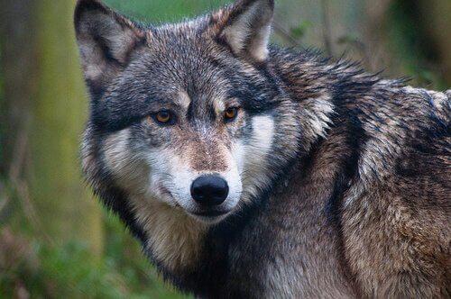 A diferença evolutiva entre cães e lobos