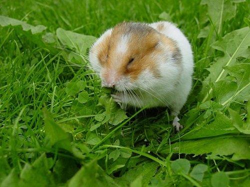 Doenças mais comuns do hamster