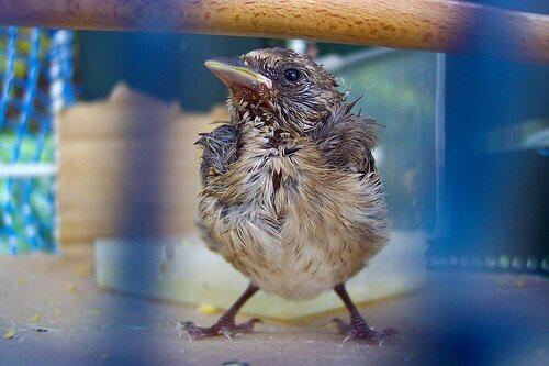 doenças em pássaros