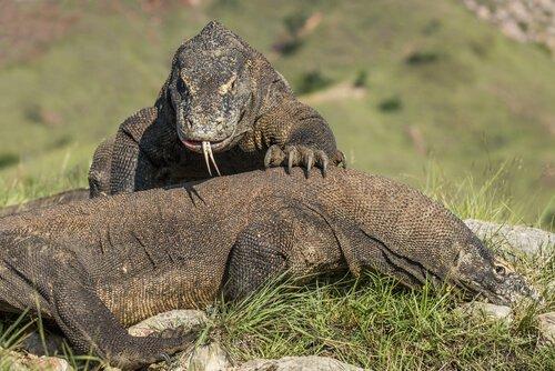 Saiba mais sobre o Dragão de Komodo