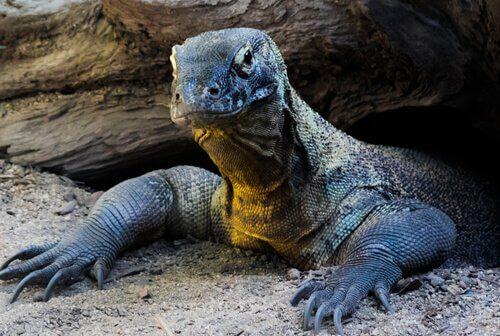 Conheça o Dragão de Komodo