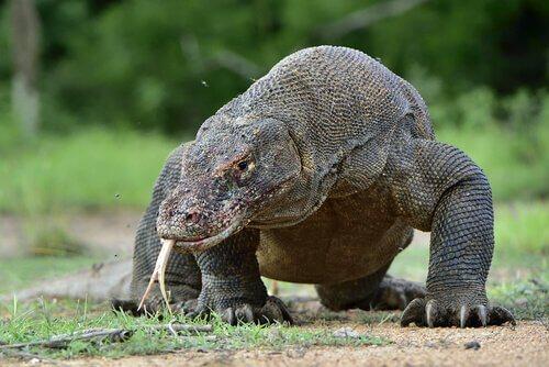 """Dragão de Komodo: conheça tudo sobre este """"monstro"""""""