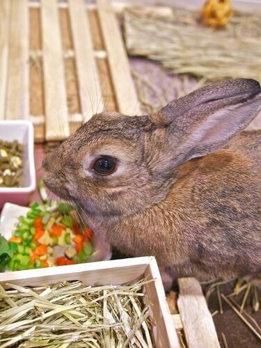 Coelho comendo legumes