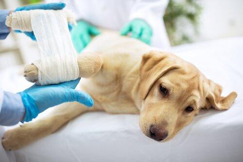 Cachorro no veterinário com pata enfaixada