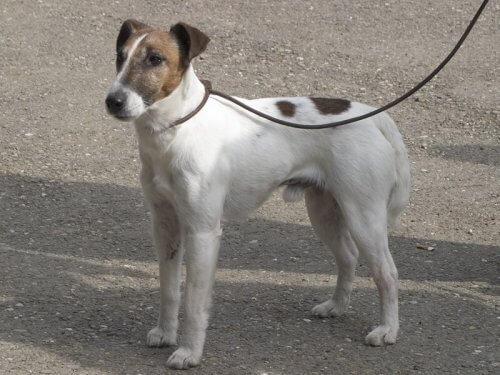 O Fox Terrier de pelo liso