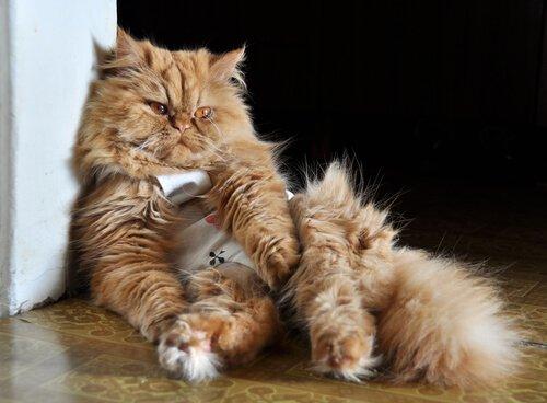 Gato com roupa