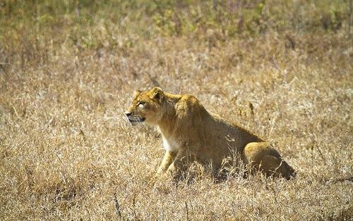 Como os grandes felinos caçam?