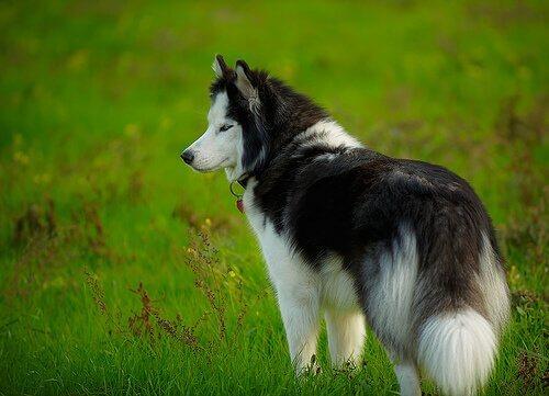 A hemofilia em cães