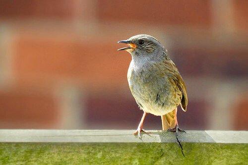 identificar pássaros pelo canto