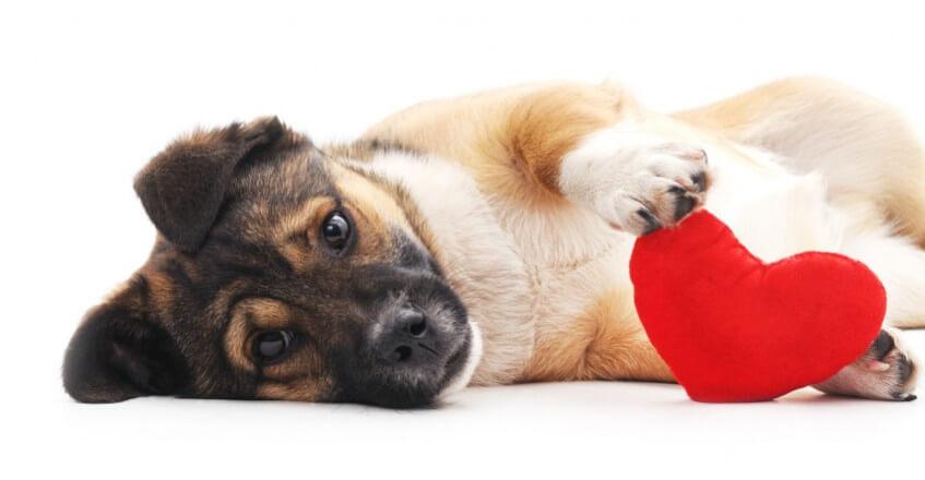 Cachorro segurando almofada de coração