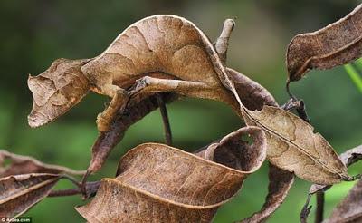 Camuflagem perfeita: lagartixa-rabo-de-folha