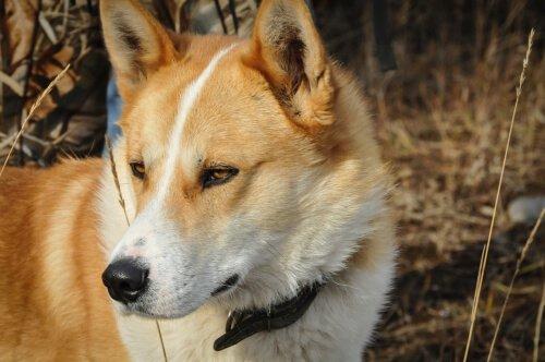 Laika da Sibéria Oriental: conheça essa raça