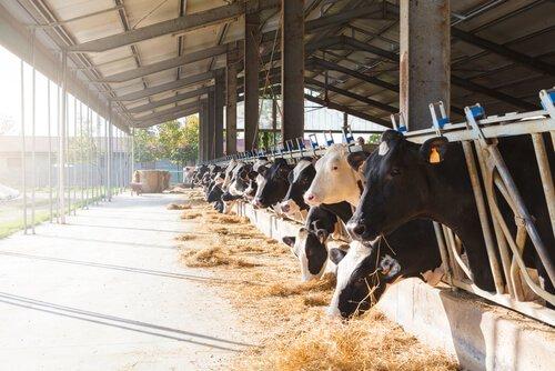 Vacas comendo em uma fazenda
