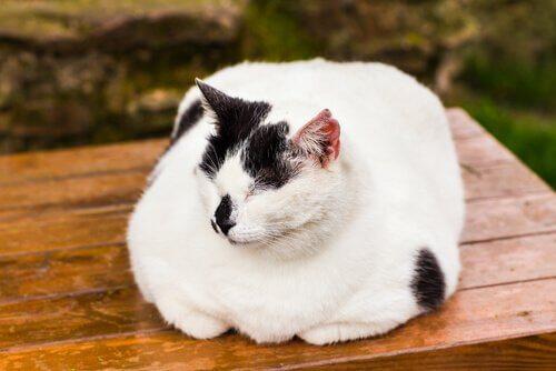 Como tratar a obesidade em gatos?