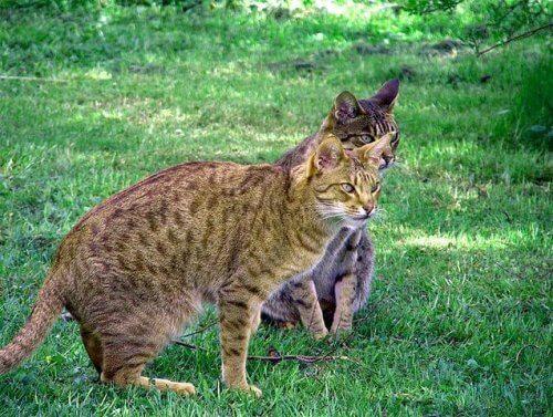 Gato Ocicat, um gatinho de aparência selvagem
