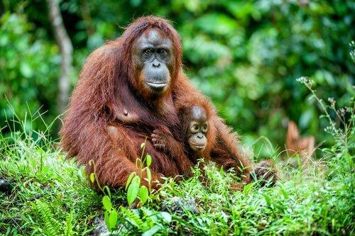 orangotango fêmea com filhote
