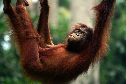 Orangotango: características, comportamento e habitat
