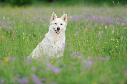 O pastor branco suíço: bonito e inteligente