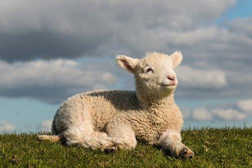 Horóscopo chinês: ovelha