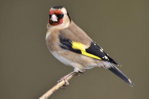 Pássaros de casa que mais cantam