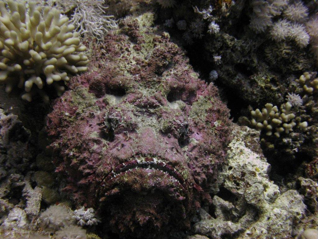 Peixe pedra: mortífero e quase invisível