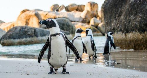 Adotar um pinguim: você conhece essa prática?