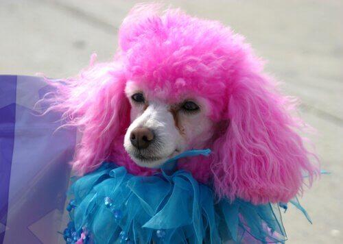 Poodle pintado de rosa