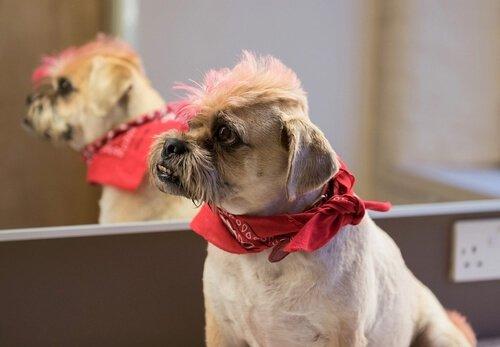 Cachorro tosado e com pelos tingidos