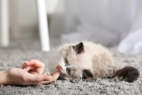 Os primeiros dias de um gato em casa