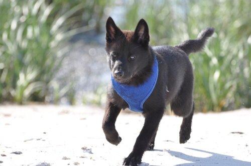 raça de cão Kai