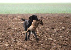 Cachorro com caça na boca