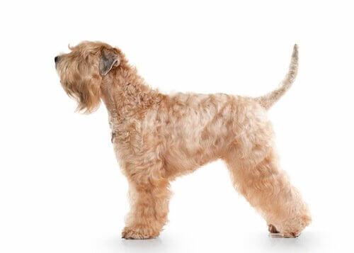 soft coated wheaten terrier aparência