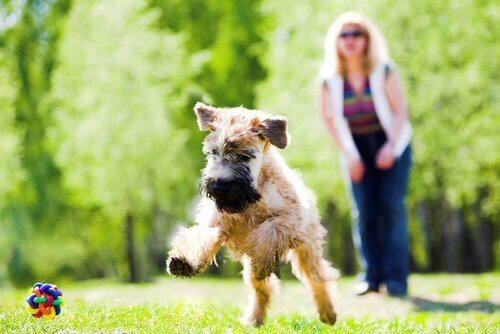 soft coated wheaten terrier comportamento