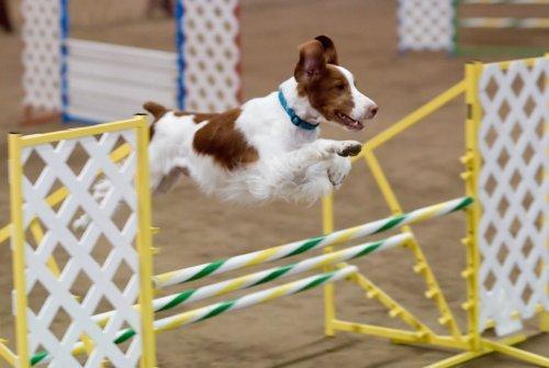 Spaniel Bretão saltando um obstáculo