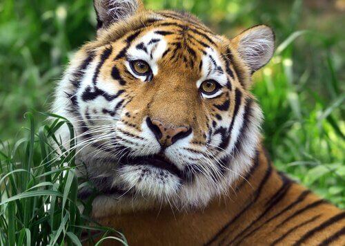Horóscopo chinês: tigre