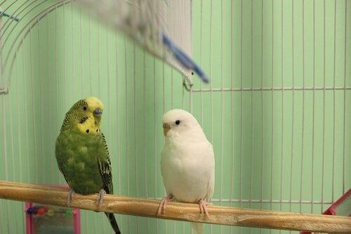 Casal de pássaros na gaiola