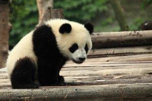 Filhote de urso panda